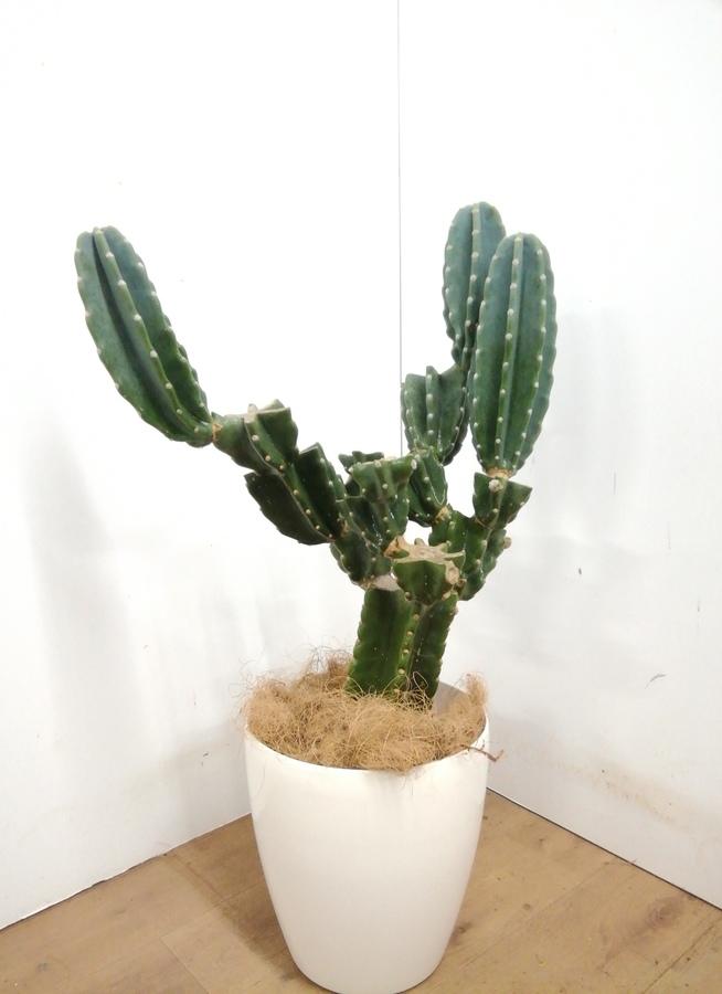 観葉植物 【90cm】 柱サボテン 8号 #23382