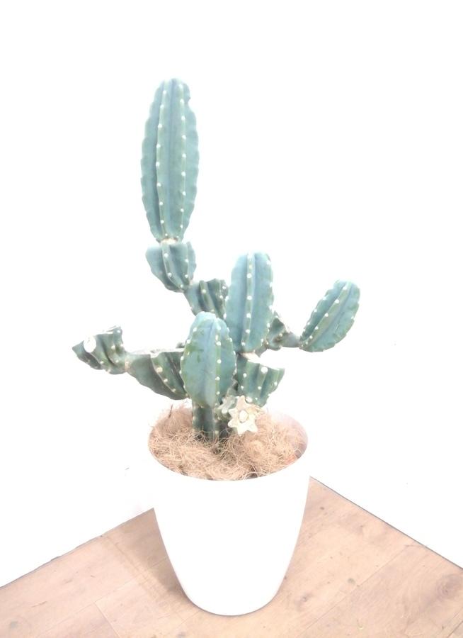 観葉植物 【95cm】 柱サボテン 8号 #23385