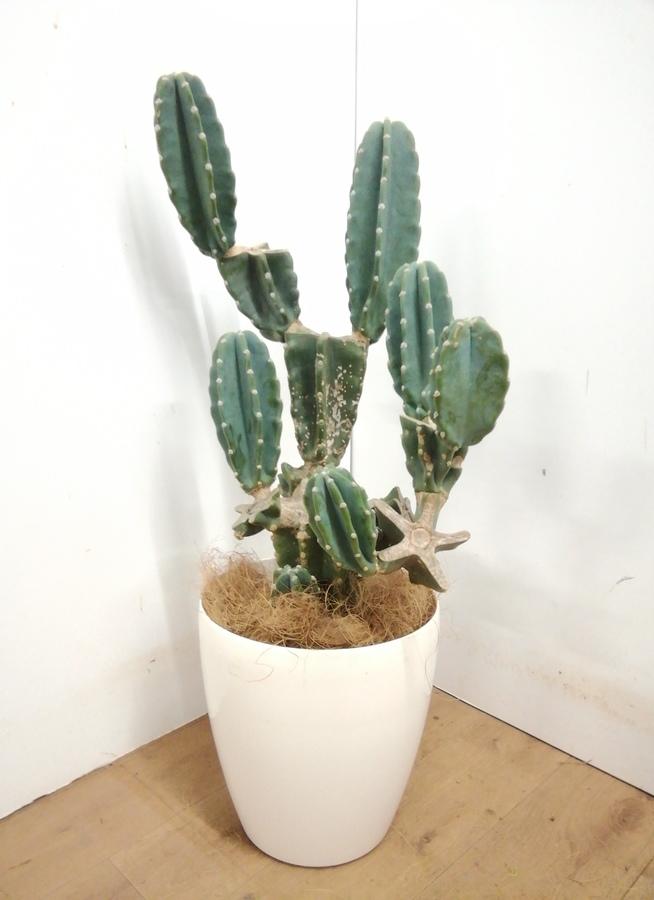 観葉植物 【95cm】 柱サボテン 8号 #23386