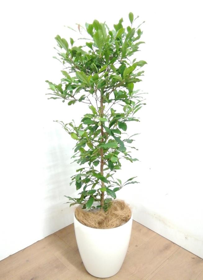 観葉植物 【120cm】[ 希少 ] ミラクルフルーツ 8号 #23388