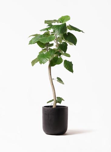 観葉植物 フィカス ウンベラータ 8号 曲り エルバ 黒 付き