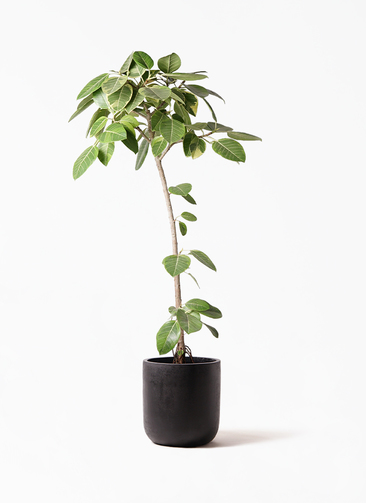 観葉植物 フィカス アルテシーマ 8号 ストレート エルバ 黒 付き