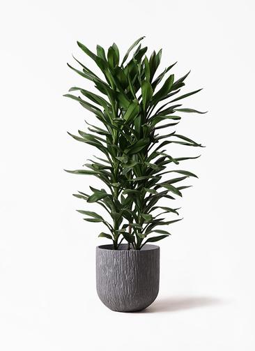 観葉植物 ドラセナ グローカル 10号 カルディナダークグレイ 付き