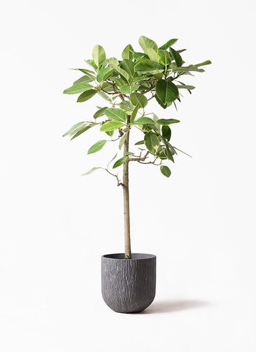観葉植物 フィカス アルテシーマ 10号 ストレート カルディナダークグレイ