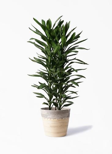 観葉植物 ドラセナ グローカル 10号 アルマ コニック 白 付き