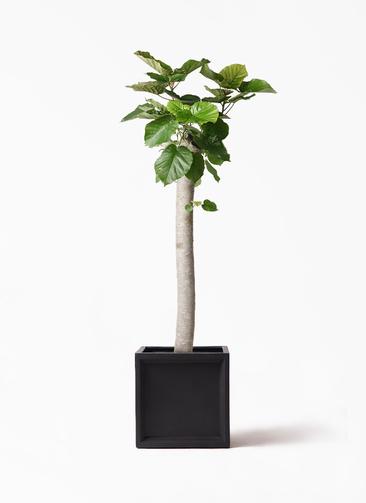 観葉植物 フィカス ウンベラータ 10号 朴 ブリティッシュキューブ 付き