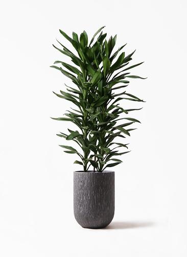 観葉植物 ドラセナ グローカル 10号 カルディナトールダークグレイ 付き