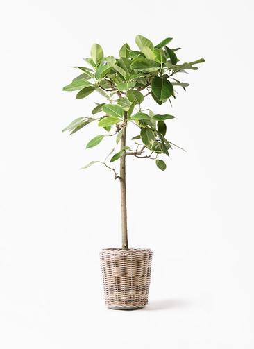 観葉植物 フィカス アルテシーマ 10号 ストレート モンデリック ラタン