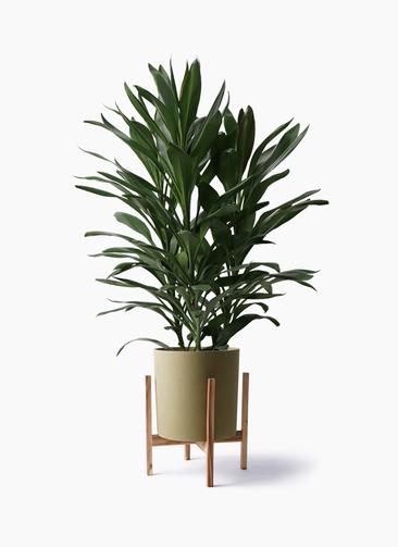 観葉植物 ドラセナ グローカル 8号 ホルスト シリンダー オリーブ ウッドポットスタンド付き