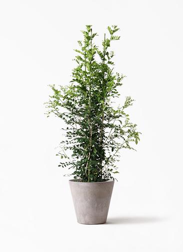 観葉植物 シルクジャスミン(げっきつ) 10号 アートストーン ラウンド グレー 付き