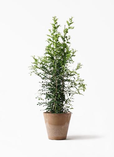 観葉植物 シルクジャスミン(げっきつ) 10号 アートストーン ラウンド ベージュ 付き