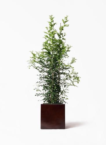 観葉植物 シルクジャスミン(げっきつ) 10号 MOKU キューブ 付き