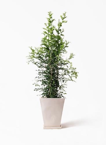 観葉植物 シルクジャスミン(げっきつ) 10号 スクエアハット 白 付き