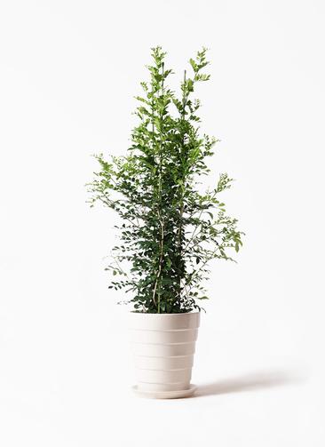観葉植物 シルクジャスミン(げっきつ) 10号 サバトリア 白 付き