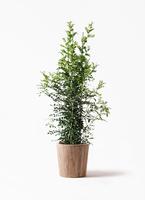 観葉植物 シルクジャスミン 10号 ウッドプランター 付き
