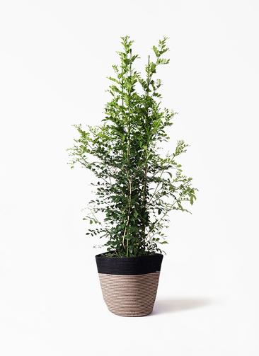 観葉植物 シルクジャスミン(げっきつ) 10号 リブバスケットNatural and Black 付き