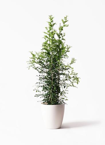 観葉植物 シルクジャスミン 10号 ラスターポット 付き