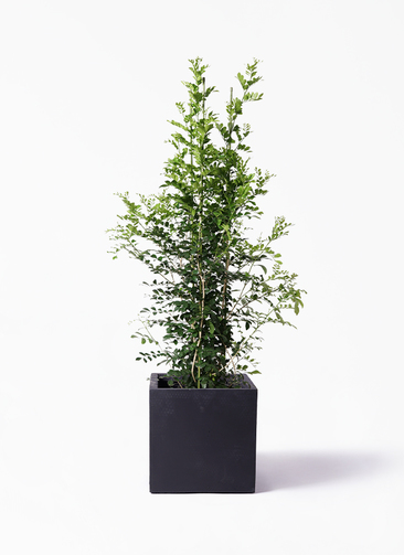 観葉植物 シルクジャスミン(げっきつ) 10号 ベータ キューブプランター 黒 付き