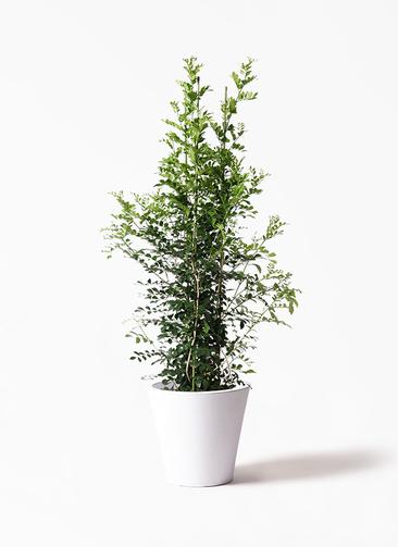 観葉植物 シルクジャスミン(げっきつ) 10号 フォリオソリッド 白 付き