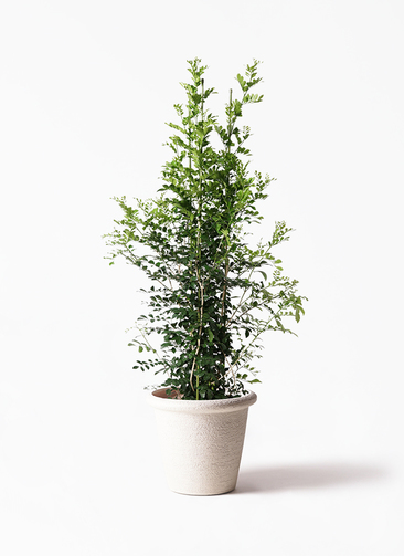観葉植物 シルクジャスミン(げっきつ) 10号 ビアスリムス 白 付き