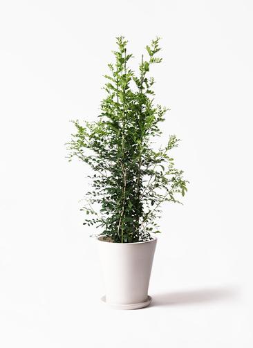 観葉植物 シルクジャスミン(げっきつ) 10号 サブリナ 白 付き