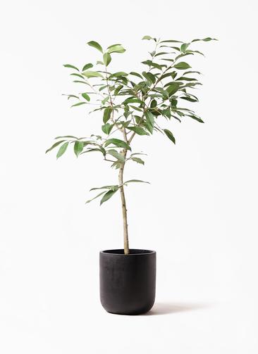 観葉植物 アマゾンオリーブ (ムラサキフトモモ) 8号 エルバ 黒 付き