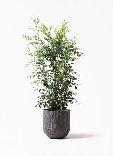 観葉植物 シルクジャスミン(げっきつ) 8号 カルディナダークグレイ 付き