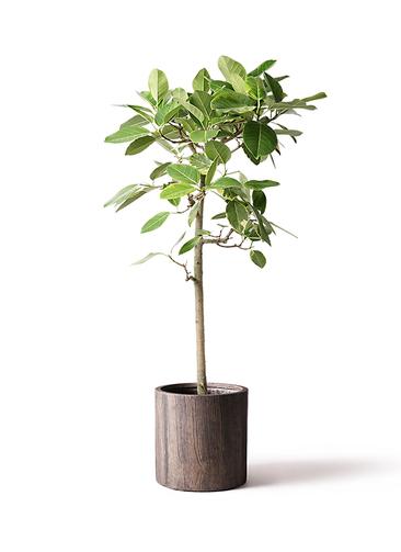 観葉植物 フィカス アルテシーマ 10号 ストレート アルファシリンダープランター 付き