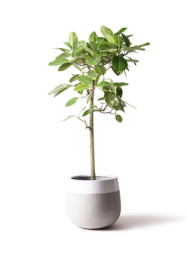 観葉植物 フィカス アルテシーマ 10号 ストレート ファイバーストーン タウルス ミドル 白 付き
