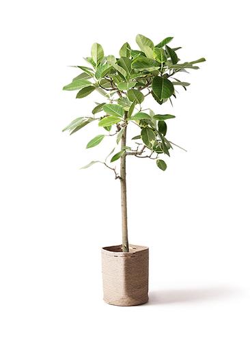 観葉植物 フィカス アルテシーマ 10号 ストレート リブバスケットNatural 付き
