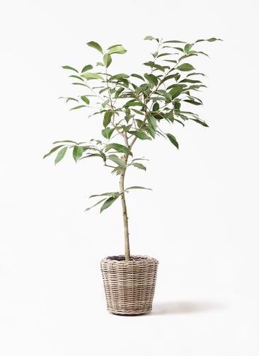 観葉植物 アマゾンオリーブ (ムラサキフトモモ) 8号 モンデリック ラタン 付き