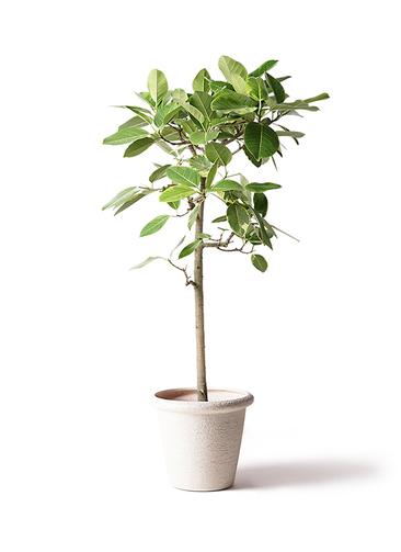 観葉植物 フィカス アルテシーマ 10号 ストレート ビアスリムス 白 付き