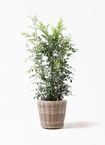 観葉植物 シルクジャスミン(げっきつ) 8号 モンデリック ラタン 付き