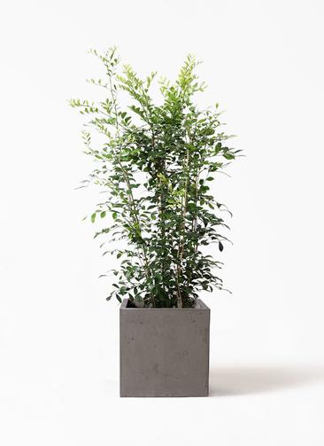 観葉植物 シルクジャスミン(げっきつ) 8号 コンカー キューブ  灰 付き