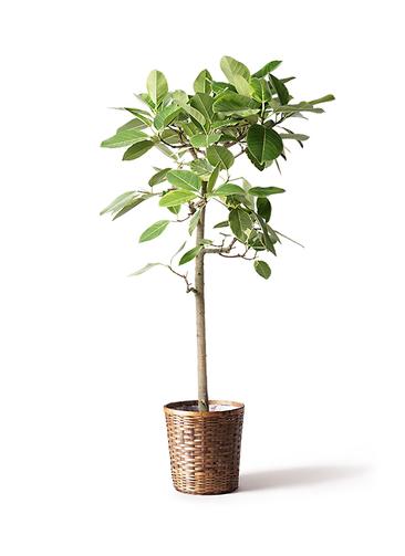 観葉植物 フィカス アルテシーマ 10号 ストレート 竹バスケット 付き