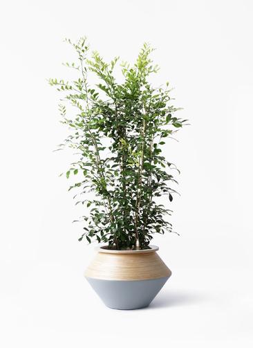 観葉植物 シルクジャスミン(げっきつ) 8号 アルマジャー グレー 付き