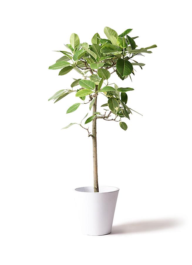 観葉植物 フィカス アルテシーマ 10号 ストレート フォリオソリッド 白 付き