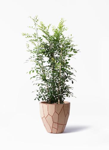 観葉植物 シルクジャスミン(げっきつ) 8号 ウィスク 付き