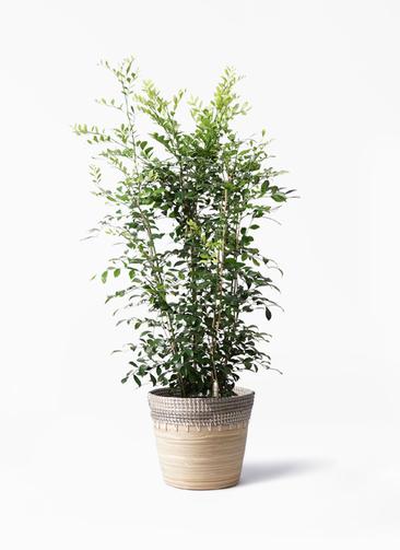 観葉植物 シルクジャスミン(げっきつ) 8号 アルマ コニック 白 付き