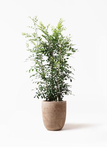 観葉植物 シルクジャスミン(げっきつ) 8号 ルーガ アンティコ アルトエッグ 付き
