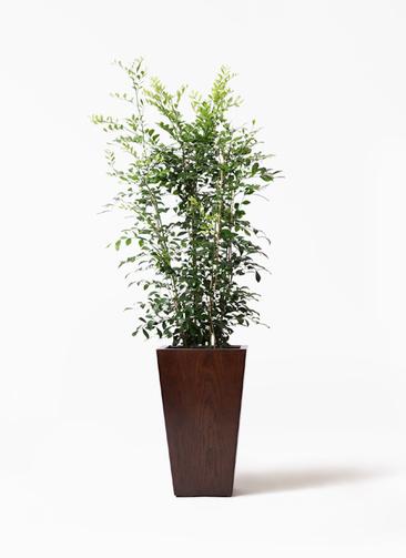 観葉植物 シルクジャスミン(げっきつ) 8号 MOKU スクエア 付き