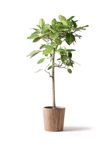 観葉植物 フィカス アルテシーマ 10号 ストレート ウッドプランター