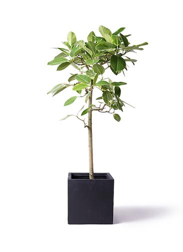 観葉植物 フィカス アルテシーマ 10号 ストレート ベータ キューブプランター 黒 付き