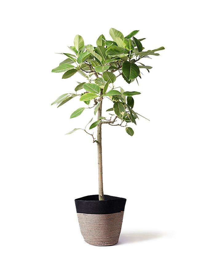 観葉植物 フィカス アルテシーマ 10号 ストレート リブバスケットNatural and Black 付き