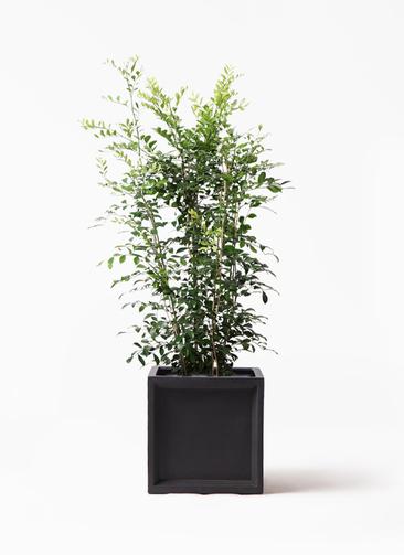 観葉植物 シルクジャスミン(げっきつ) 8号 ブリティッシュキューブ 付き