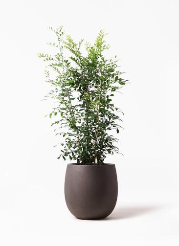 観葉植物 シルクジャスミン(げっきつ) 8号 テラニアス バルーン アンティークブラウン 付き