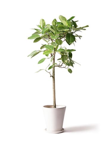 観葉植物 フィカス アルテシーマ 10号 ストレート サバトリア 白