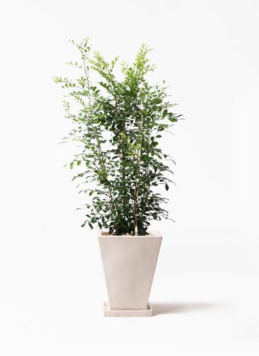 観葉植物 シルクジャスミン(げっきつ) 8号 スクエアハット 白 付き