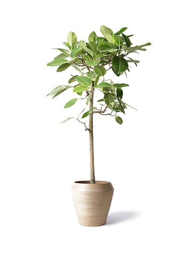 観葉植物 フィカス アルテシーマ 10号 ストレート アルマ ミドル 付き
