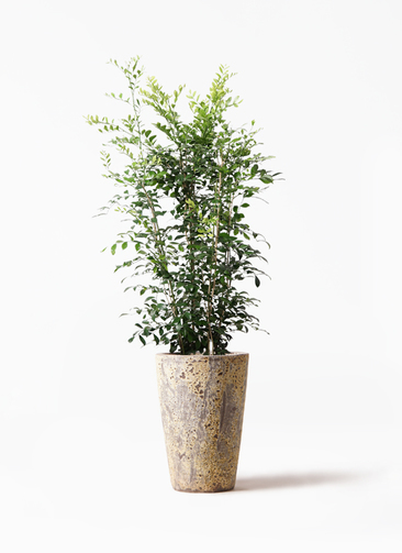 観葉植物 シルクジャスミン(げっきつ) 8号 アトランティス クルーシブル 付き